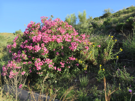 Lone Oleander bush in early morning sunshine in Andalusian countryside