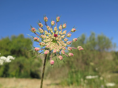 Young pink flower on Hogweed or Hemlock plant