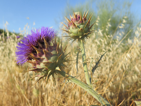 Closeup of purple thistle flowering in dry landscape in Andalusia, Spain Stock Photo