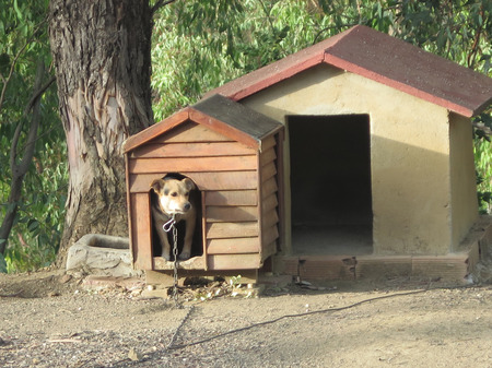 Dog on chain seeking shade in kennel in eucalyptus shaded ground in Andalusian village