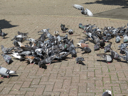 Flock of Pigeons feeding on Thamesside promenade, Reading, Berkshire, England