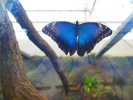 Closeup of a large blue morpho butterfly at The Living Rainforest, Berkshire, UK Stock Photo
