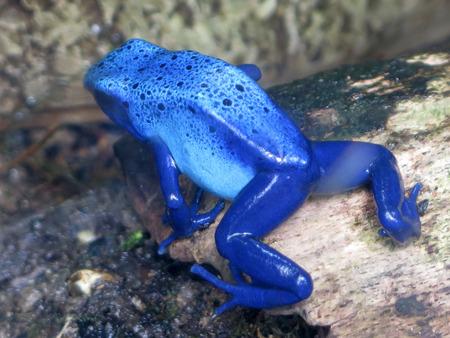 Blue Poison Dart Frog resting in the Living Rainforest in Berkshire, England