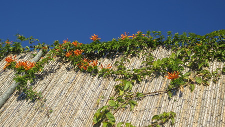 Closeup of Cluster of orange honeysucckle on bamboo fence in Andalusian village of Alora, Spain Stock Photo