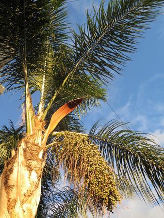 Phoenix dactylifera also known as date palm bearing edible sweet fruit.