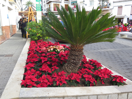 Alora, Spain - December 15, 2017: Flowerbed filled with poinsettias in main square