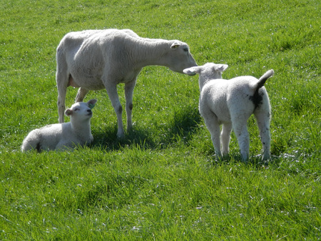 Two spring lambs with mother sheep on grass covered dike in Dutch fishing village