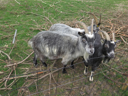 The New Zealand Arapawa goat breed can be traced back to the two goats left on Arapawa Island, as documented in Captain Cook's journal