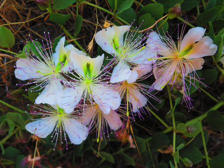 Wild creeping Passion Flower type blossoms in Andalusian Countryside Stockfoto