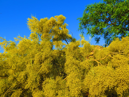 Large yellow flowering shrub in Andalusian countryside Stockfoto