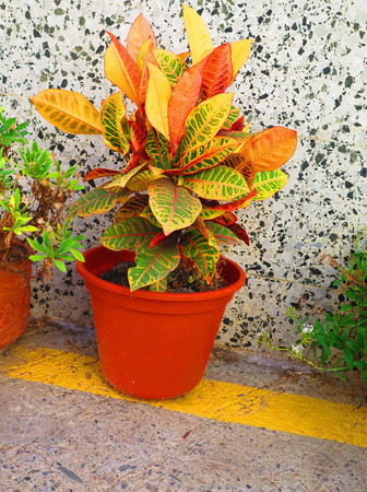 Small variegated houseplant on pavement in sunny Andalusian village in October