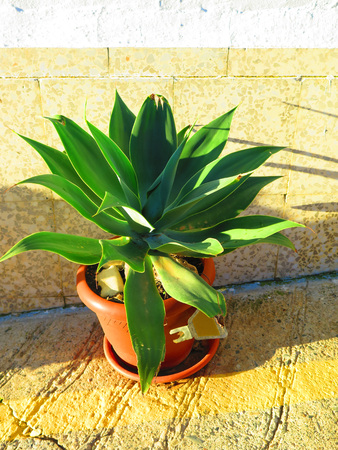 Succulent subtropical plants of the family aloe vera against house wall in sunny Andalusian village