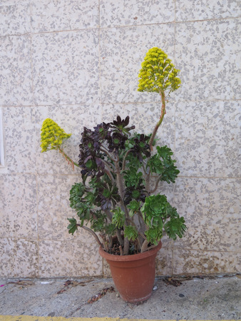 Succulent subtropical plants of the family Crassulaceae against house wall in sunny Andalusian village sporting bright yellow flowers