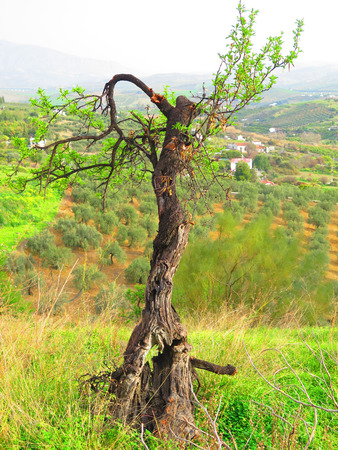 Lone spindly almond tree sprouting a few new leaves in Andalusian countryside Stock fotó