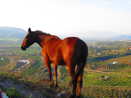 Large bay horse on castle hill with Guadalhorce valley view