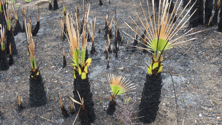 Burned out stumps of finger palms in Andalusian countryside sporting new green shoots Stockfoto