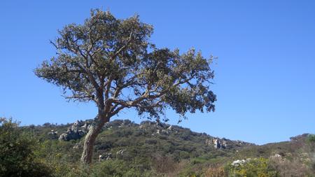 Single cork oak in rural Andalusian landscape Stockfoto - 123242468