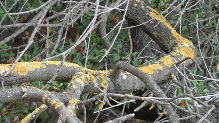 Lichen covered fallen rotting tree branch in Andalusian countryside