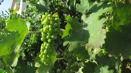 Closeup of Bunch of young unripe green grapes