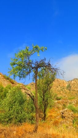 Lone spindly almond tree sprouting a few new leaves and crop in Andalusian countryside
