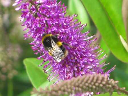 Closeup of large bumble bee on lilac buddleia flower