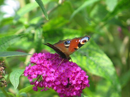 Closeup of butterfly feeding on lilac buddleia flower in English garden 版權商用圖片