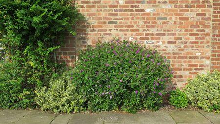 Closeup of blue, lilac buddleia shrub against rustic brick wall in English garden