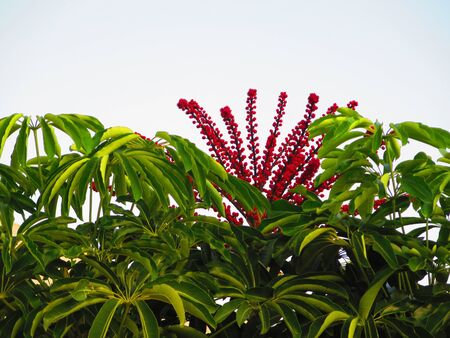 Unique red spiky flowers blooming on tree top in Andalusian village