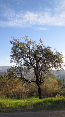 Lone mature almond tree sprouting new leaves and crop in Andalusian countryside
