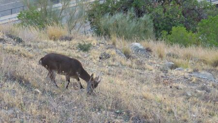 beautiful muntjack grazing on sparse grass on castle hill in Andalusian village