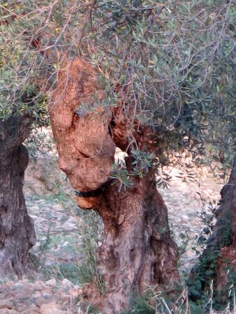 Old gnarled olive tree in Andalusian olive grove, Spain 版權商用圖片