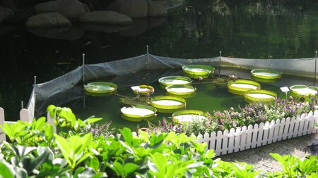 Shady part of garden with large water lily leaves floating in Hong Kong park on warm November day