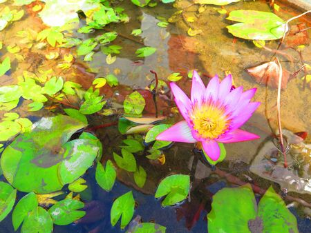 Single water lily in flowers in small ornamental container
