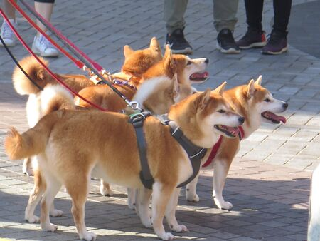 Five Japanese Shiba Inu dogs on leash in sunny Stanley village square, Hong Kong island