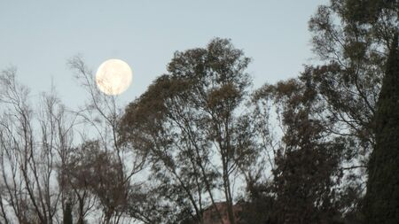 Early morning view of Full moon over eucalyptus tree in rural Alora Andalusia Stockfoto