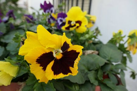 Closeup of colorful pansy flower, The garden pansy is a type of large-flowered hybrid plant cultivated as a garden flower