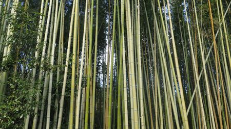 The Bamboo Forest, or Arashiyama Bamboo Grove or Sagano Bamboo Forest, is a natural forest of bamboo in Arashiyama, Kyoto, Japan Archivio Fotografico