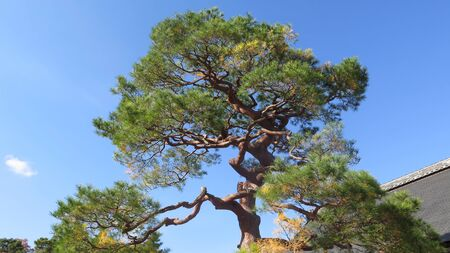 Large old pine tree in front garden of Japanese house against clear blue sky