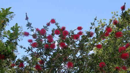 Closeup of beautiful delicate blooming Bottlebrush flower growing in Andalusian April sunshine