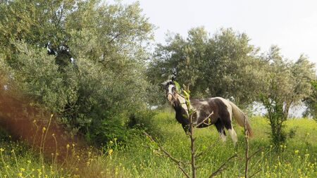 Piebald horse feeding in lush green spring olive grove meadow in southern Andalusia Archivio Fotografico