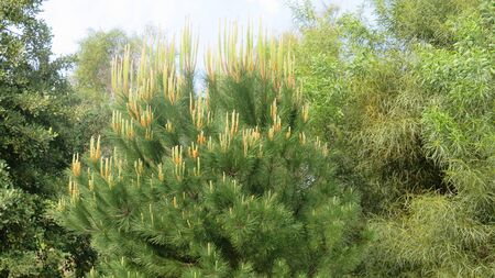 Candelabra style new shoots on lone fir tree in rural Andalusia, Spain