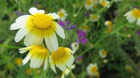 Closeup of wild Daisy like flowers waiting for heat of the sun Archivio Fotografico