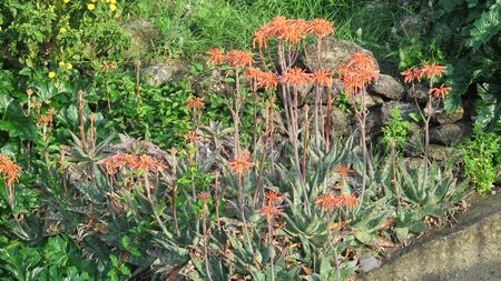 Red Agave flowers on village embankment in April si=unshine