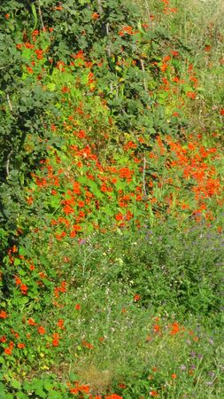Nasturtium climbing over rural hillside near Andalusian village