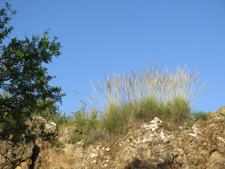 clumps of Esparto grass on rocky hillside near Alora, Andalusia Archivio Fotografico - 148409566