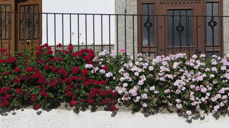 Delicate scented geranium plants on elevated fence in Andalusian village