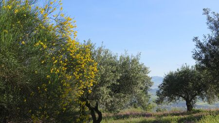 Closeup of Spanish Broom in Flower in olive grove countryside, Andalusia Archivio Fotografico