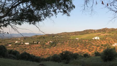 View of Olive grove through eucalyptus trees on the outskirts of Alora Andalusia one sunny morning