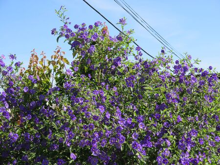 Bright blue flowers of bougainvillea shrub in May sunshine Archivio Fotografico