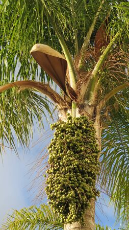 Date palm showing new green fruit ripening on tree in Village park, Andalusia Archivio Fotografico